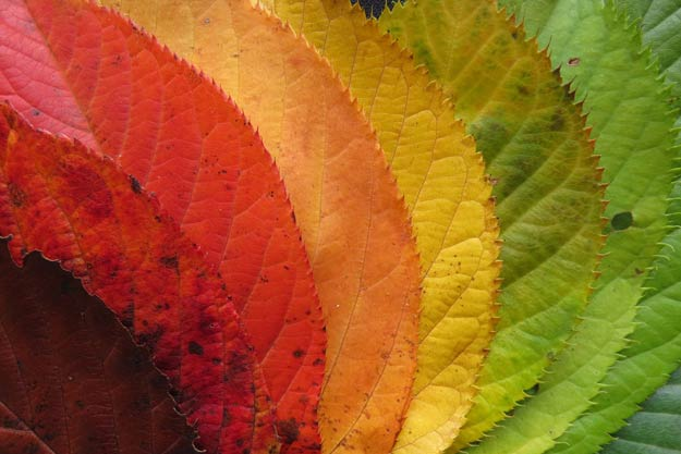 PIX-AutumnLeaf-fan