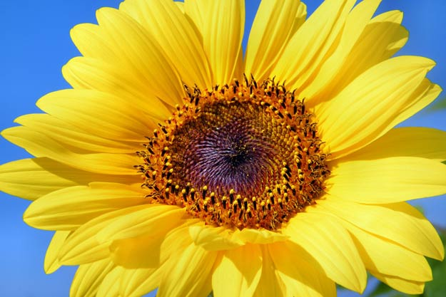 PIX-Sunflower-Big2